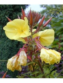 Evening flower Primrose flour