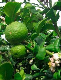 Bergamota eļļa