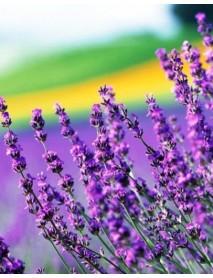 Lavender essential oi